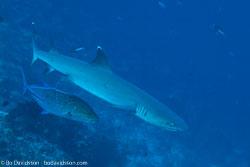 BD-141018-Komodo-5316-Triaenodon-obesus-(Rüppel.-1837)-[Whitetip-reef-shark.-Vitspetsig-revhaj].jpg